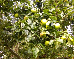 Apple Pruning Course Summer